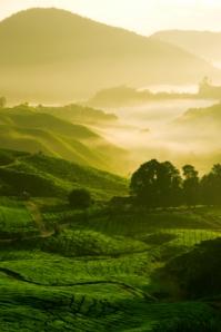 China, tea plantation, green tea