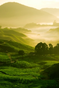 China, tea plantation, green tea